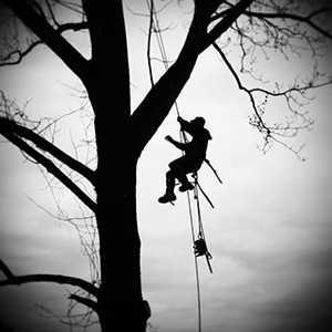 professional tree cutters roping limbs down safely